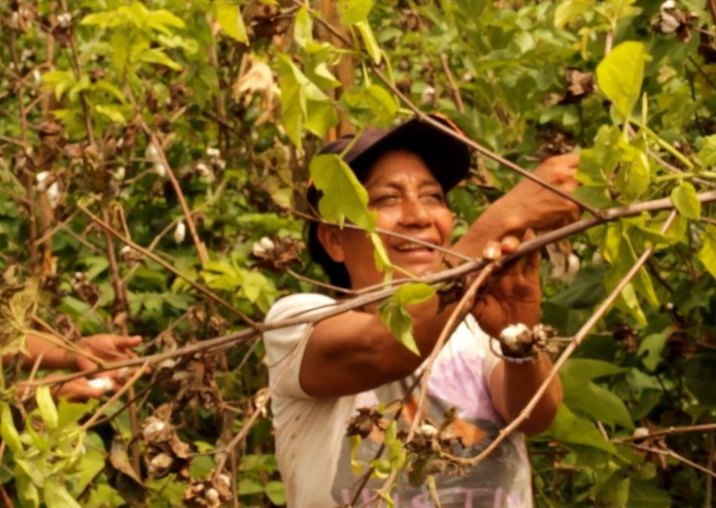 Mulheres na colheita do algodao pima organico - Peru - Timirim 2016