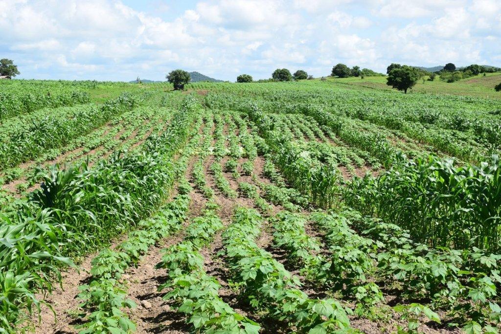 Campo de algodão orgânico cultivadp com feijão Paraiba Timirim blogpost 8
